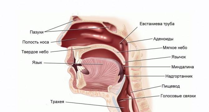 Расположение миндалин в организме человека