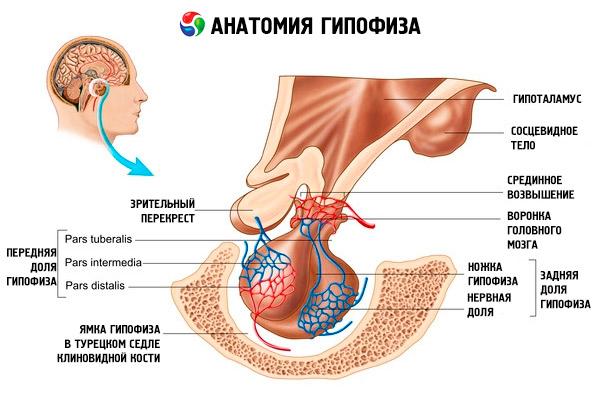 кортикотропные гормоны препараты