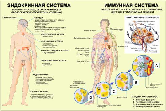 Эндокринная и имунная системы человека