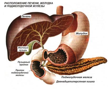 Расположение печени, желудка и поджелудочной железы