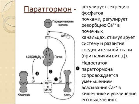 Паратгормон