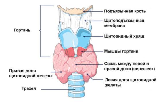 Размеры щитовидной железы в норме по УЗИ
