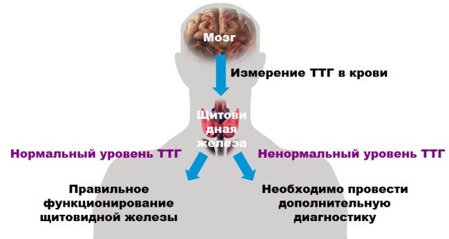 Анализы при гипотиреозе