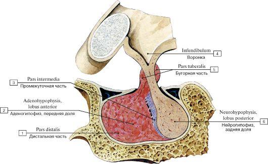 Гипофиз человека (cагиттальный разрез)