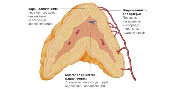 Корма надпочечника