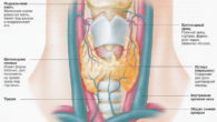 Щитовидная железа