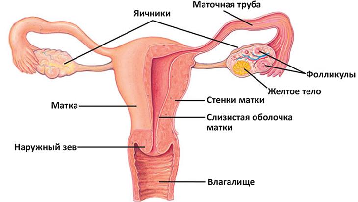 Структура яичников
